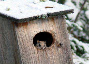 flying squirrel in nest box
