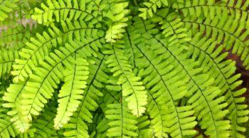 Maidenhair fern 1