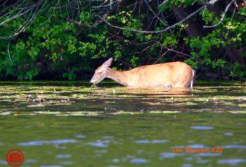 deer drinking header