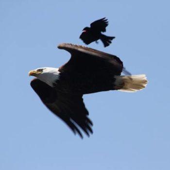 eagle&blackbird