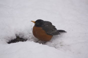 spring in the northwoods robin