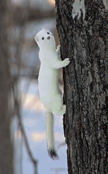 weasel on tree