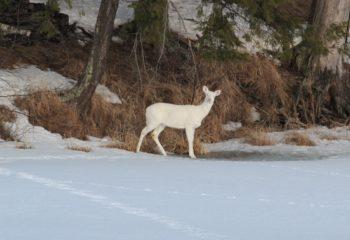 white deer header