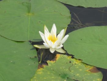 whitle lily pad2