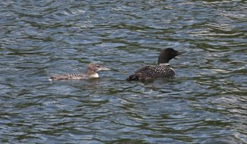 loon and baby2